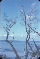 [Australian Pines line the beaches of the Gulf of Mexico in Southwestern Florida]
