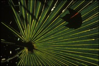 Saw Palmetto Frond