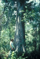 Man Standing at the Base of a Large Cypress Tree