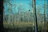 Marsh Grasses and Cypress Forest