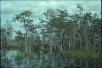 Cypress Bog in the Wetlands