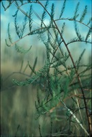 Cypress Branch and Leaves, Close Up