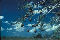 Cypress Seeds on the Tree