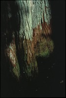 Cypress Trunk with Green Lichens