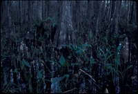 [Cypress bog with marsh plants and ferns]