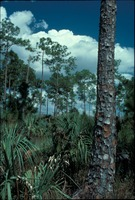 [Pine and palmetto forest]