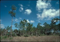 [Pine forest and saw grass]