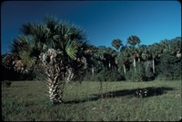 [Palm forest and prairie]
