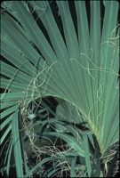 [Cabbage Palm Frond]