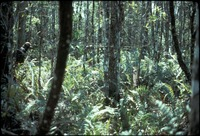 [Fern covered forest floor and new growth forest]
