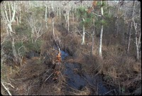 [Aerial view of pine and cypress swamp]