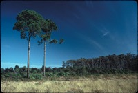 [Pine and palmetto forest surrounded by grass lands]