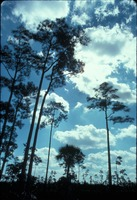 [Pine and palm prairie]