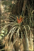 [Bromeliad in Bloom]