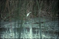 [Alligator and Egret]