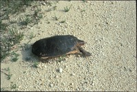 [Soft Shell Turtle]