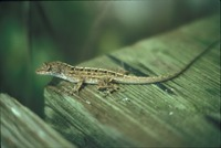 [Anole ]