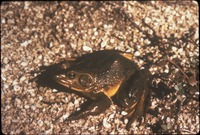 [Southern Bull Frog]