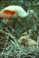 [Roseate Spoonbill and chicks]