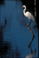 [Great Egret Hunting]