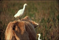 [Cattle Egrets Bear Island]