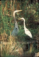 [Great Blue Heron and Common Egret]