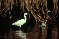[Snowy Egret and Tri-color Heron]