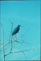 [Little Blue Heron]