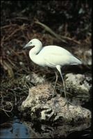[Juvenile Little Blue Heron]