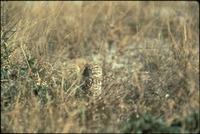 [Burrowing Owl]