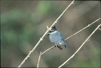 [Belted King Fisher]