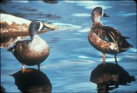 [Blue Winged Teal]
