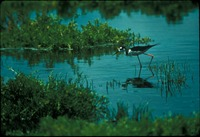 [Black Necked Stilt]