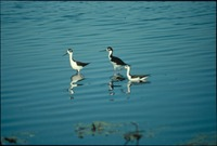 [Black Necked Stilts]