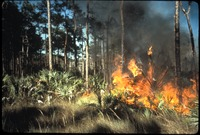 [Burning Palmetto and Grasses]