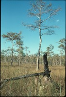 [Burnt Cypress Tree]