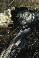 [Burnt Cypress Log]
