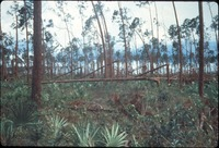 [Bent Pines, Long Pine Key]
