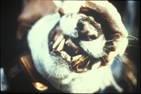 [Examination of Panther Teeth]