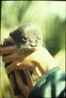 [Baby Otter]