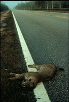 [Bobcat Hit by a Car]