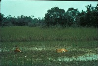 [Bedded Deer on Welands]