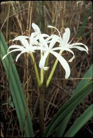 [Swamp Lily]