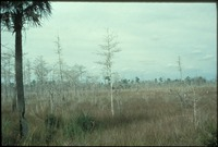 Cypress and Palm in the Marsh