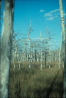 Marsh Grasses and Cypress Forest, Vertical View