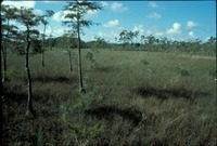 Cypress Forest and Marsh Grasses