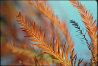 Dwarf Cypress Leaves in Winter